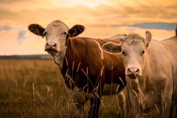 Kühe können Vitamin B12 selbst produzieren